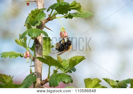Bee pollinates a flower currants