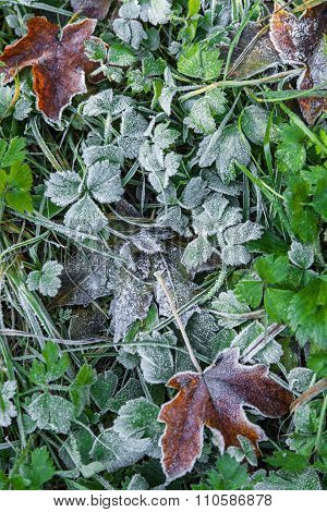 Frozen Fallen Leaves On Grass