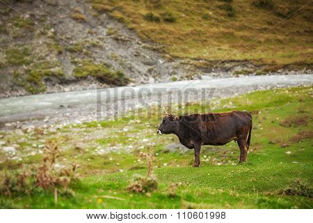 Cow grazing on mountain lawn