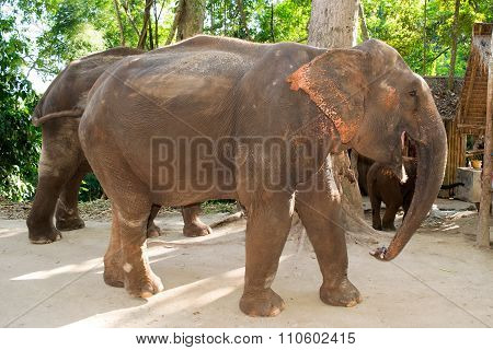 Full body elephant walking and eating cane