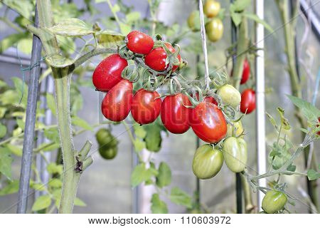 Bunch Of Oval Red Tomatoes