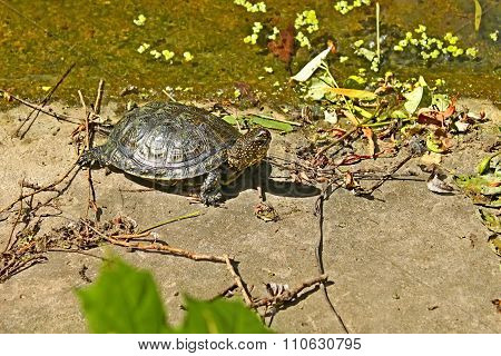 Turtle On The Concrete Abandoned Bank