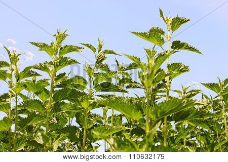 Stinging Nettle Young Plants