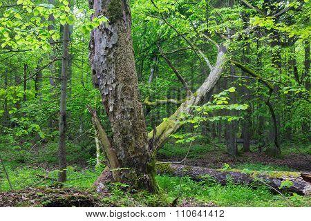 Old Monumental Hornbeam Tree(carpinus Betulus)