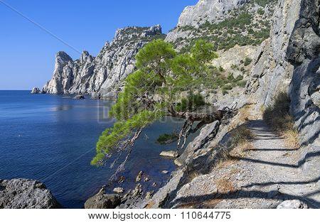 Relict Pine On The Sea Coast. Crimea.