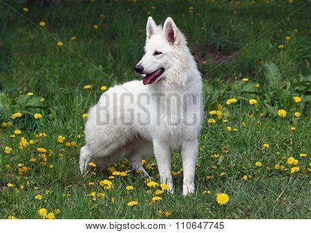 Portrait of wonderful white suisse shepherd