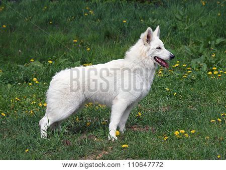 White suisse shepherd on grass