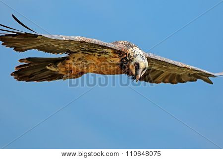 An endangered bearded vulture (Gypaetus barbatus) in flight, South Africa