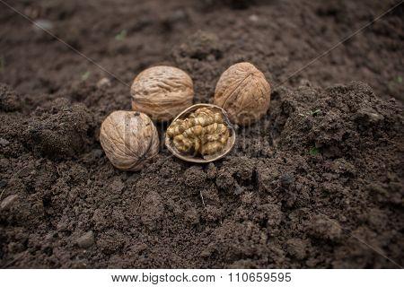 Walnuts on the soil