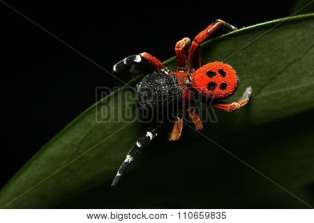 Red Lady Bird Spider On The Leaf
