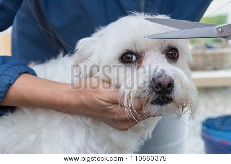 Trimming The Maltese Dog