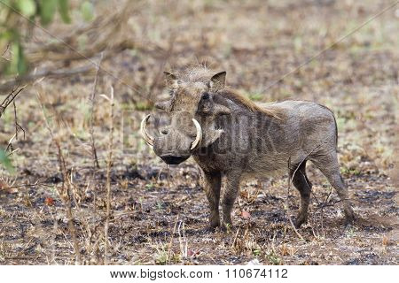 warthog standing in savannah In Kruger National Park