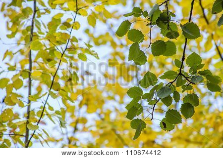 Aspen Tree Branch With Green Leaves On A Background Of Yellow Leaves