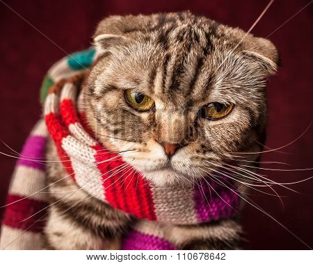 Serious Scottish Fold Cat In Striped Scarf