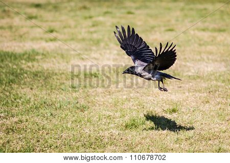 Crow With Spread Wings Flying Over A Grassy Field