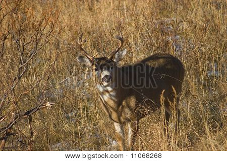 Blacktail Buck
