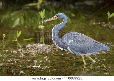 Tricolored Heron - Merritt Island, Florida