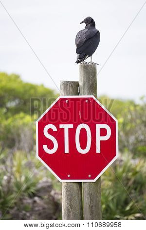 Turkey Vulture Perched On A Stop Sign