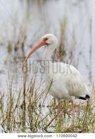 White Ibis Wading in a Marsh