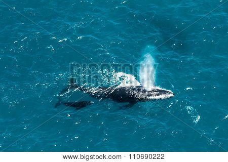 Humpback Whale Mother And Calf, St. Mary's Island, Madagascar