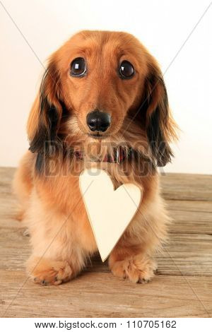 Sad dachshund puppy wearing a large heart shaped tag. Add your own text.