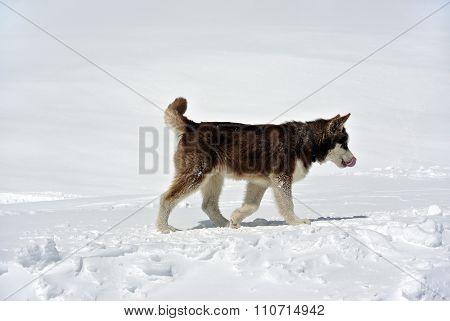 Eskimo Dog on Elbrus