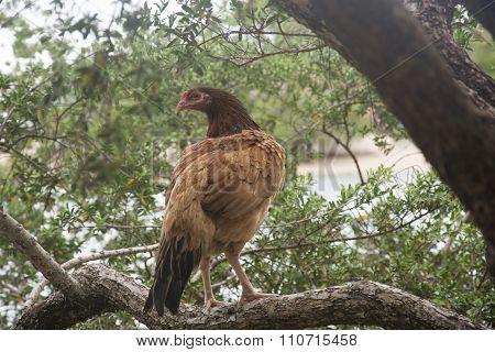 A Hen on a Tree