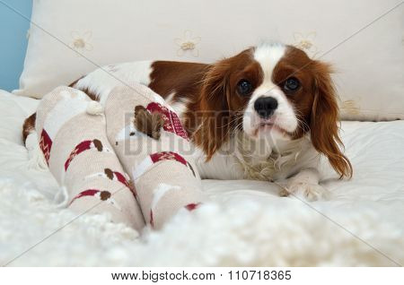 Beautiful Cavalier King Charles Spaniel And Femail Foot In Cozy Bed Socks