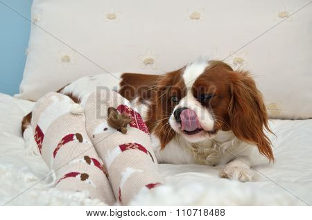 Lovely Cavalier King Charles Spaniel Just Eaten Candy