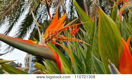 Strelitzia Reginae Flower (bird Of Paradise Flower)