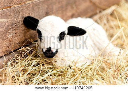 Cute Domestic Farm Lamb Sleeping In Hay