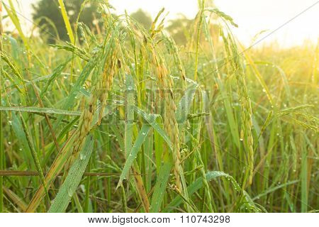 Rice Field In Early Morning