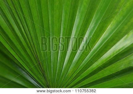 Palm  leaf (Livistona Rotundifolia palm), close up