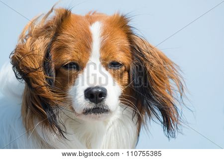 Portrait young Dutch Kooikerhondje against blue sky