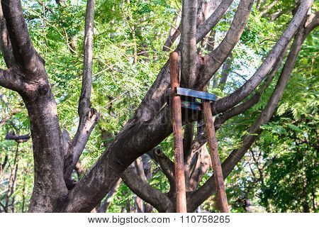 Tree Branch Bracing With Steel In Garden