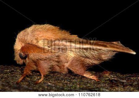 The lackey moth (Malacosoma neustria)