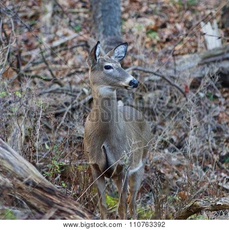 Photo of the wide awake deer in the forest