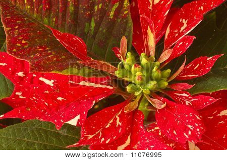 Red and White Poinsettia
