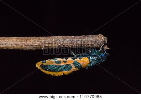 Goat Moth In Nature