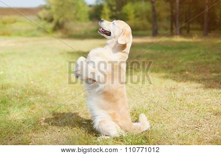 Happy Golden Retriever Dog On Grass Standing On Its Hind Legs, Profile Side View
