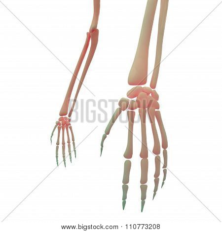 Hand Joint With Elbow