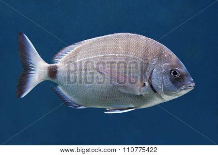 Annular Sea Bream (diplodus Annularis)