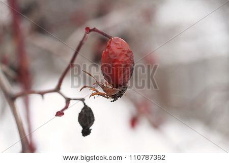 Winter dull day - wild rose hips