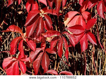 Autumn - red leaves on Virginia creeper