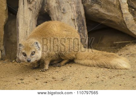 Yellow Mongoose on the sand