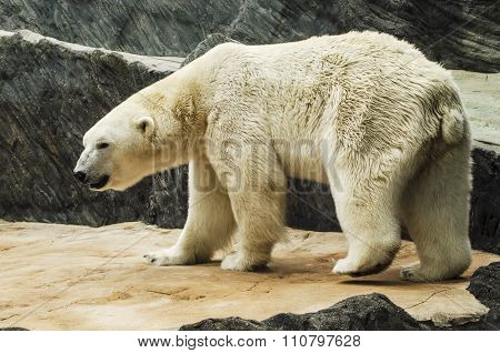 White bear in the zoo