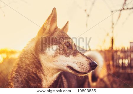 Husky on a background of the coming sun.Portrait of a siberian husky over sunset.