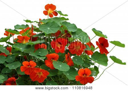 Nasturtium Flower Plant
