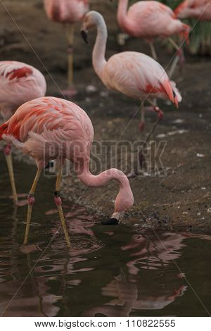 Chilean flamingo, Phoenicopterus chilensis