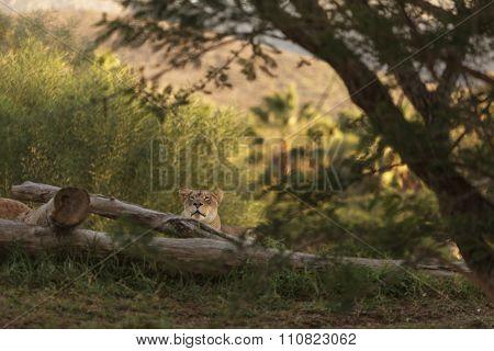 lioness, Panthera leo